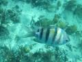 Sargent Major Fish